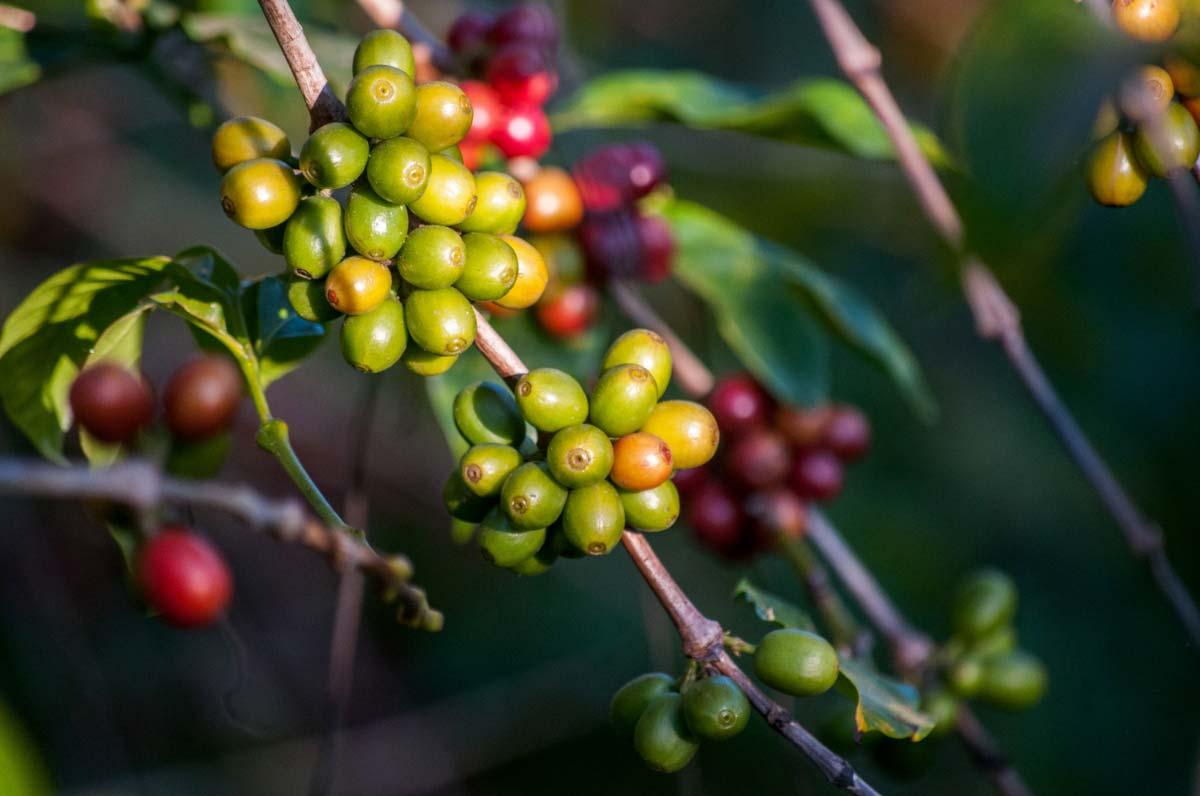 Top 10 Best Green Coffee Bean Extract Brands Healthtrends